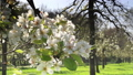 Pear blossom in The Netherlands 30258206