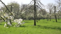 Pear blossom in The Netherlands 30258207