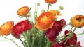Colorful Ranunculus flower bouquet 30258208
