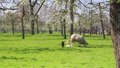 Sheep and lamb in The Netherlands 30258214