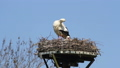 Stork and young on nest in The Netherlands 30258217