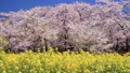 Akagi South side Senbonzakura's cherry blossoms and rape blossoms Gumma Prefecture Maebashi City 30263173