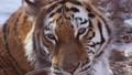 獣 タイガー トラの動画 30288270