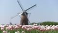 風車のあるチューリップ畑 30301430