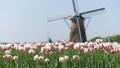 風車のあるチューリップ畑 30301431
