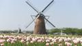 風車のあるチューリップ畑 30301432