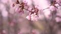 fixed photography, cherry blossom, cherry tree 30346462