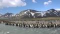 king penguin, flock, avian 30350012