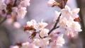fixed photography, cherry blossom, cherry tree 30350512