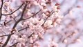 fixed photography, cherry blossom, cherry tree 30350513