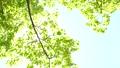 新緑の葉 30369310
