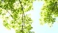 新緑の葉 30369312
