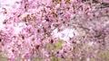 桜 (フィクス撮影) 30464353