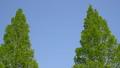 新緑 風に揺れる オウゴンメタセコイア 30464688