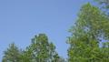 新緑 風に揺れるユリノキ 30464689