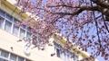 校舎と桜(フィクス撮影) 30478227
