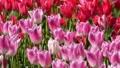 春のチューリップ畑 30505476