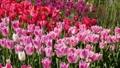 春のチューリップ畑 30505478