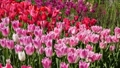 tulipa, tulip field, bloom 30505478