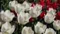 春のチューリップ畑 30505479