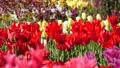 春のチューリップ畑 30505480