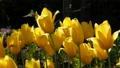 春のチューリップ畑 30505481