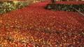 11月秋  紅葉の鶏足寺  滋賀の秋景色 30521427