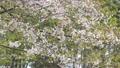 SakuraFubuki 30563604