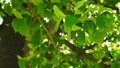 Fresh young green linden leaves bright sun light 30566419