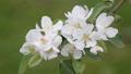 apple blossom, flower, flowers 30566493