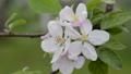 apple blossom, flower, flowers 30566494