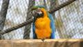 Macaw, blue and yellow, Ara Ararauna 30566753