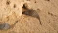 Banded mongoose family, Mungos mungo 30566757