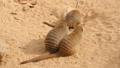 Banded mongoose family, Mungos mungo 30566758