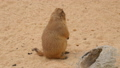 Black-Tailed prairie dog, Cynomys ludovicianus 30566760