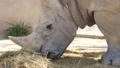 Rhinoceros eating grass, Ceratotherium Simun 30566762