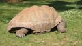 Giant turtle eating grass, Tortoise Aldabra giant 30566765