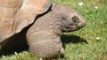 Giant turtle eating grass, Tortoise Aldabra giant 30566766