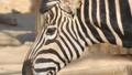 Chapman Zebra eating grass, Equus Burchelli Chapma 30566767