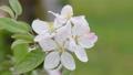 Apple flower 30577677