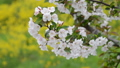 apple blossom, bloom, flower 30577679