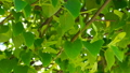 Fresh young green linden leaves bright sun light 30649559