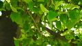Fresh young green linden leaves bright sun light 30696910