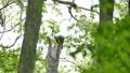 フクロウ エゾフクロウ 鳥の動画 30844916