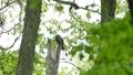 フクロウ エゾフクロウ 鳥の動画 30844917