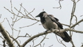 crow, branch, wildlife 30954765