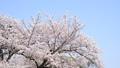 風になびく青空の桜 31008499