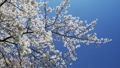 Cherry Blossom Trees in Shinjuku Gyoen Garden 31028015