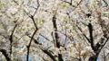 Cherry Blossom Trees in Shinjuku Gyoen Garden 31028027