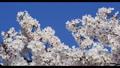 Cherry Blossom 31028200